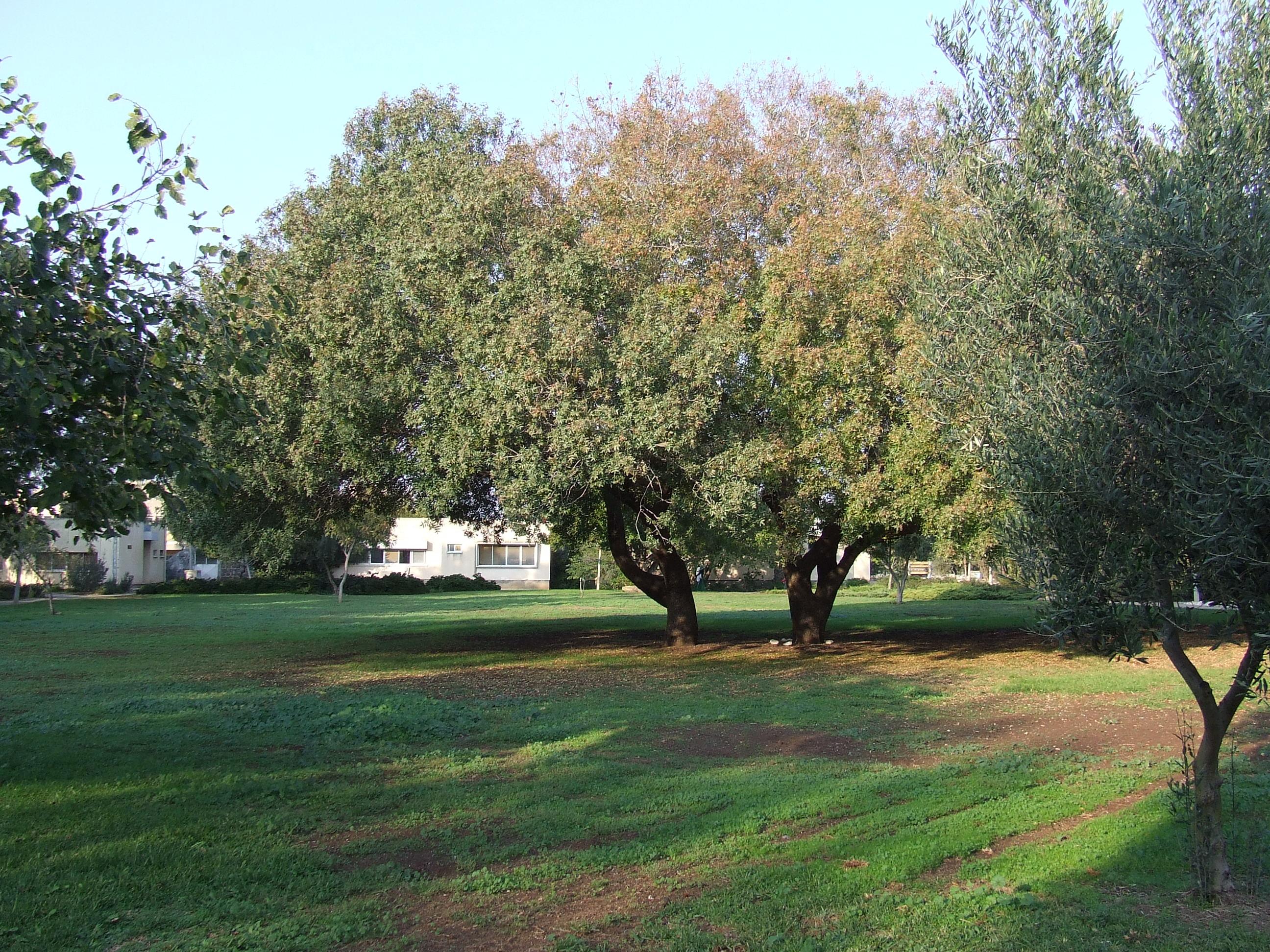 האלות-  הדשא הגדול