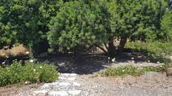 פינת חמד- עצי חרוב