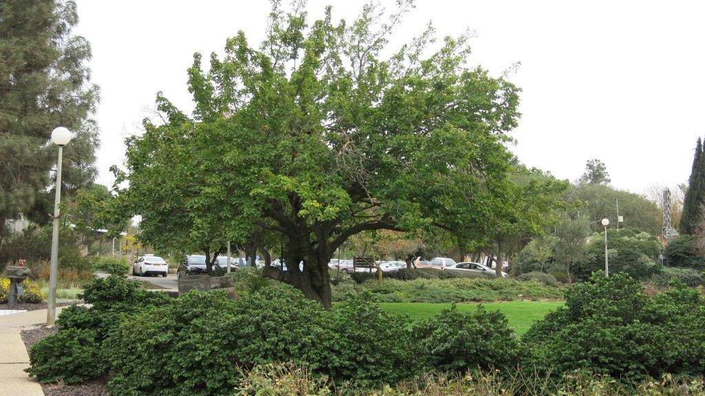 עץ התות במלא הדרו