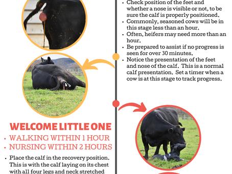 Beef Cattle 101 : Calving