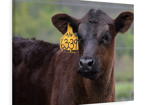 Angus Calf in the Spring with Canvas Gallery Wraps