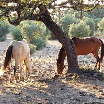 caballos atardecer.jpg