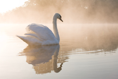 Holy Swan - Symbol of Purity