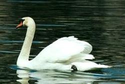 image.SwanLake