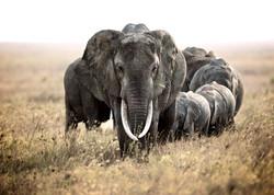 African Elephant heard, Serengeti
