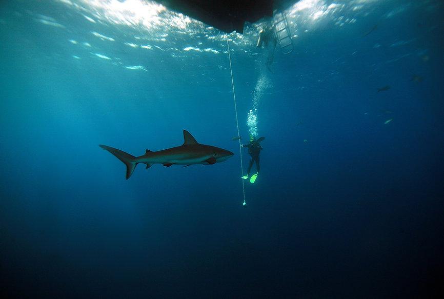 REEF SHARK 1.jpg