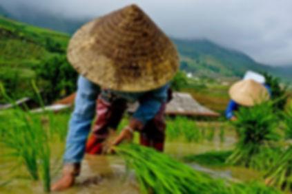 risaie vietnam.jpg