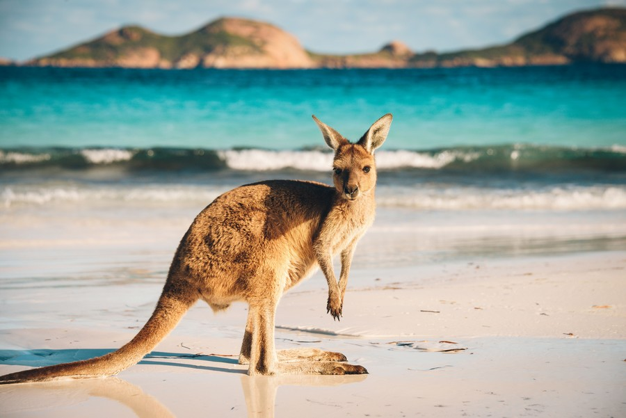 canguro-australia
