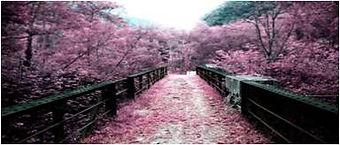 ciliegi in fiore giappone
