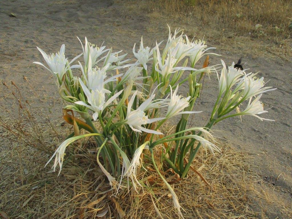 Beach lilies