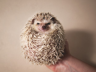 Haru the Hedgehog