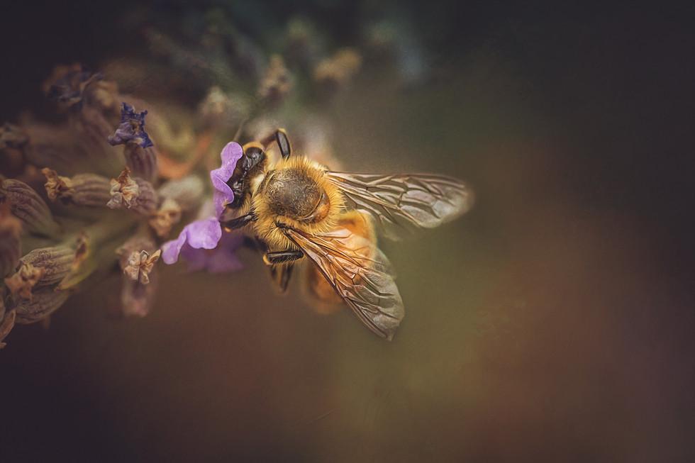 Bee On Lavender 2.jpg