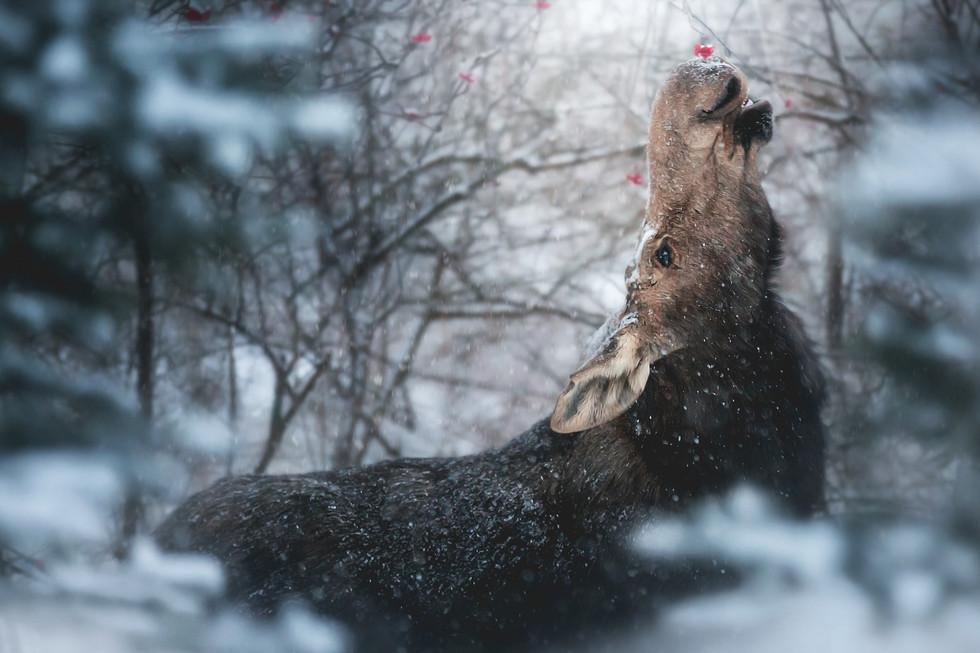 Moose Snow Berries.jpg