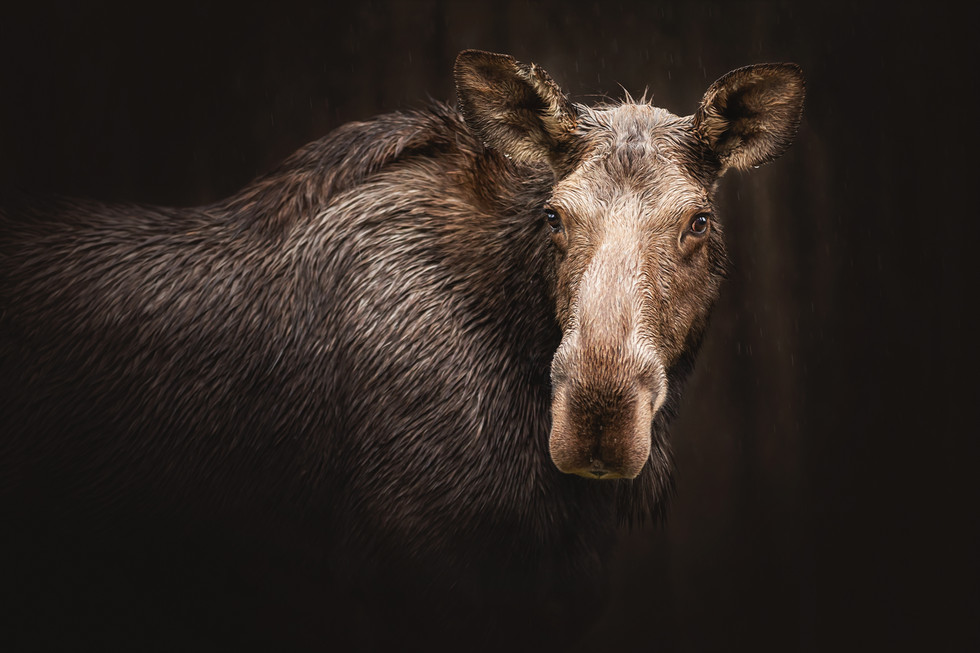 Mama Moose 2017.jpg