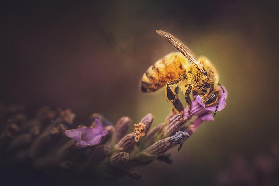 Bee on Lavender.jpg