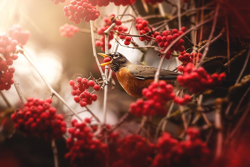 robins berries 3.jpg