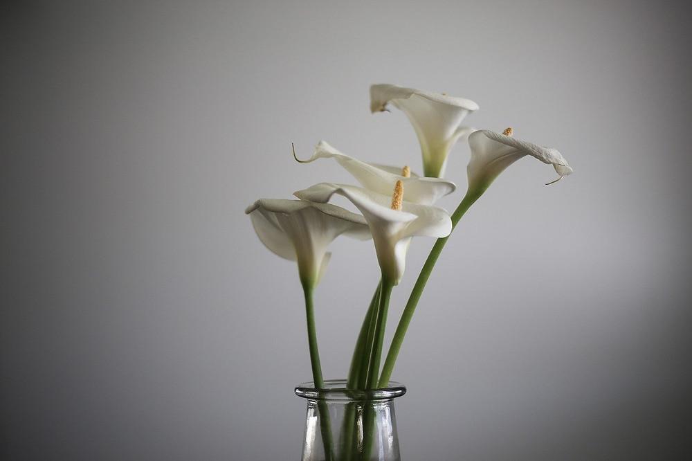 Alcatraces o Calla Lilies