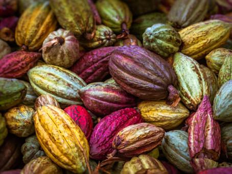 Raw Cacao versus Cocoa