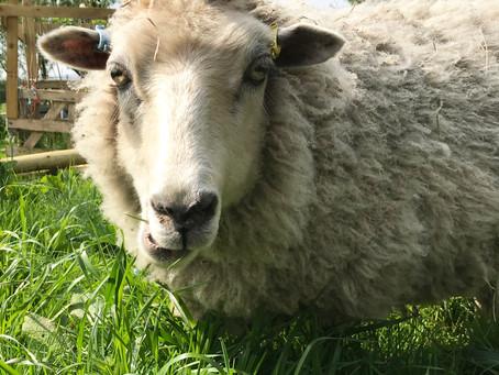 Buying a Raw Fleece?