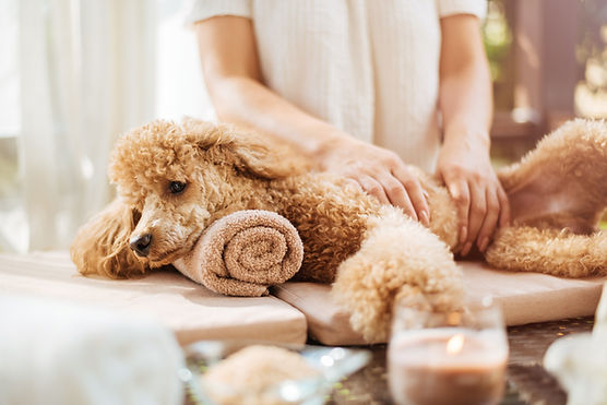 Shutterstock Poodle Massage.jpg