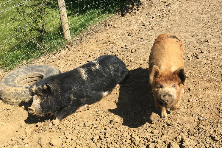 KUNE KUNE PIGS