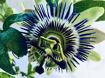 Passiflora Passion Flower