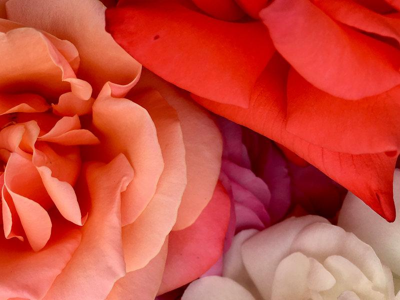 Bardfield Garden Centre Rosa Rose.jpg
