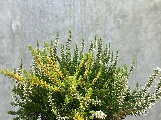 Bardfield Garden Centre Calluna vulgaris