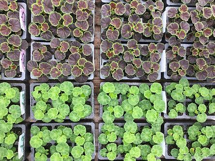 Geranium | 6 Plant box cells