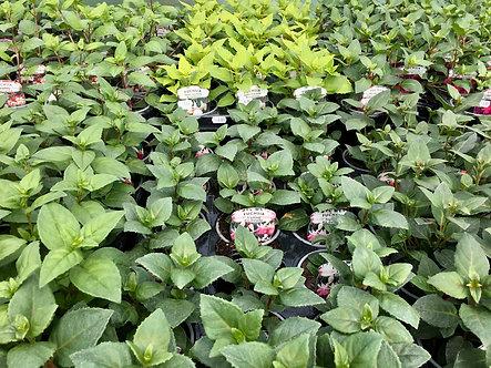 Fuchsia Hardy Bush | 9cm Pot