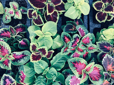 Coleus| 6 Plant box cells