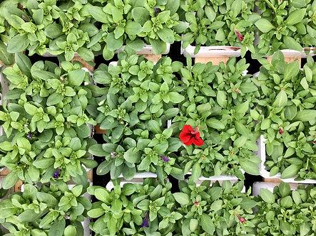 Petunia | 6 Plant Box cells