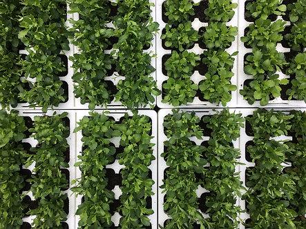 Lobelia Bush | 10 Plant box cells