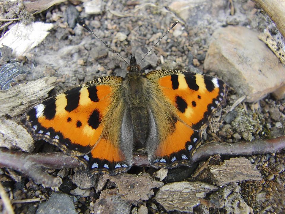 Butterfly, Tarot