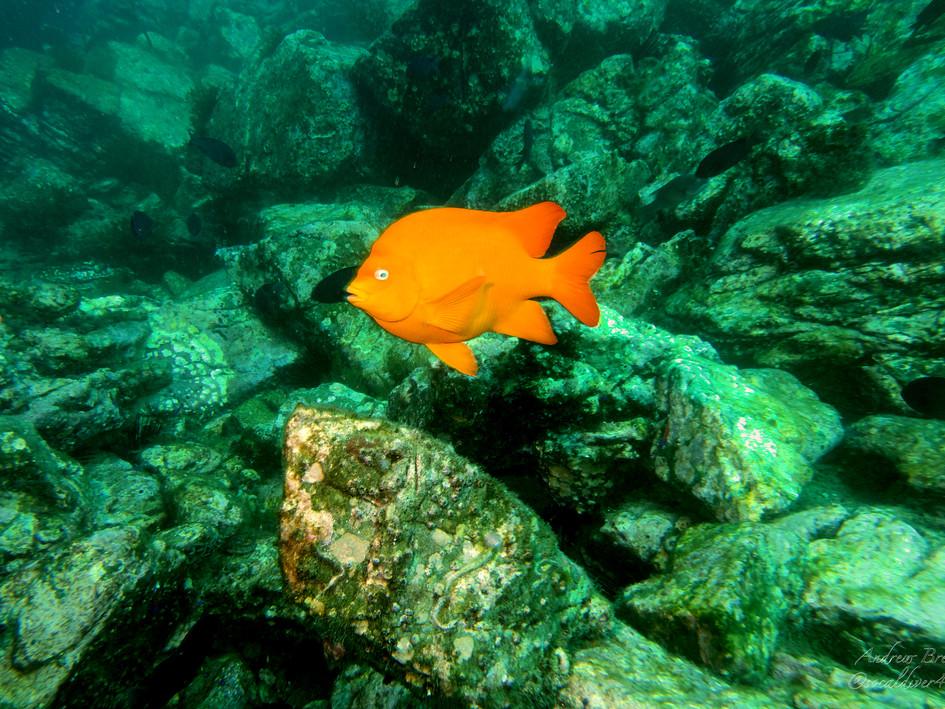 Garibaldi - the California state ocean fish by Andrew Brett