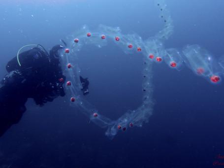 Salp Fish by Andrew Brett