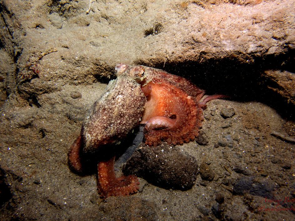 Octopus by Andrew Brett
