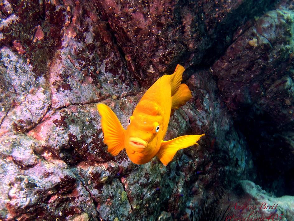 Garibaldi - California state ocean fish by Andrew Brett