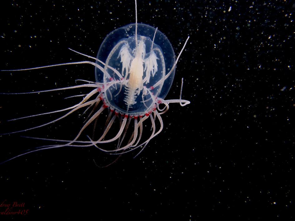 Red Medusa Jellyfish by Andrew Brett