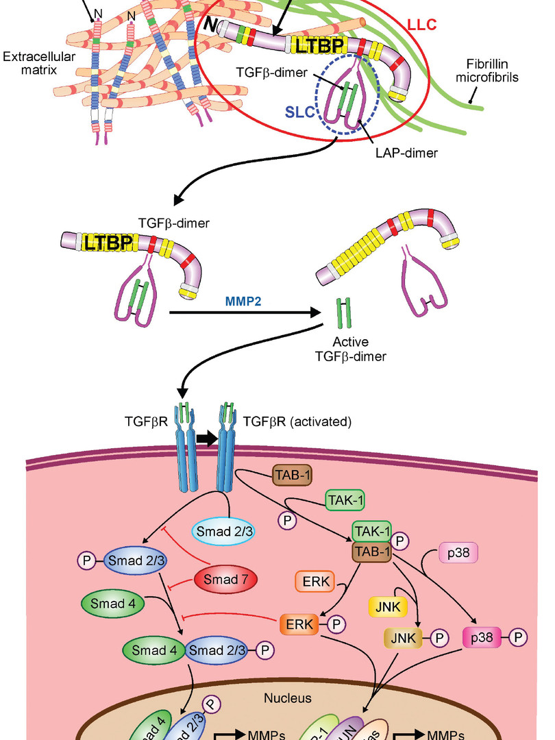 In addition to degrade ECM proteins, MMP2 plays a critical role in mediating ECM synthesis by regulating TGFβ bioactivity. (Takawale A, Sakamuri SS, and Kassiri Z. Extracellular matrix communication and turnover in cardiac physiology and pathology. Compr Physiol. 2015;5(2):687-719.)