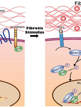 Proposed mechanism of action for TIMP1 in inducing reactive myocardial fibrosis in nonischemic cardiomyopathy. (Takawale et al., Hypertension, 2017.)