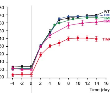 TIMP3-deficient mice exhibit suppressed hypertensive response to Ang II infusion. (Basu et al., Cardiovascular Research, 2013)