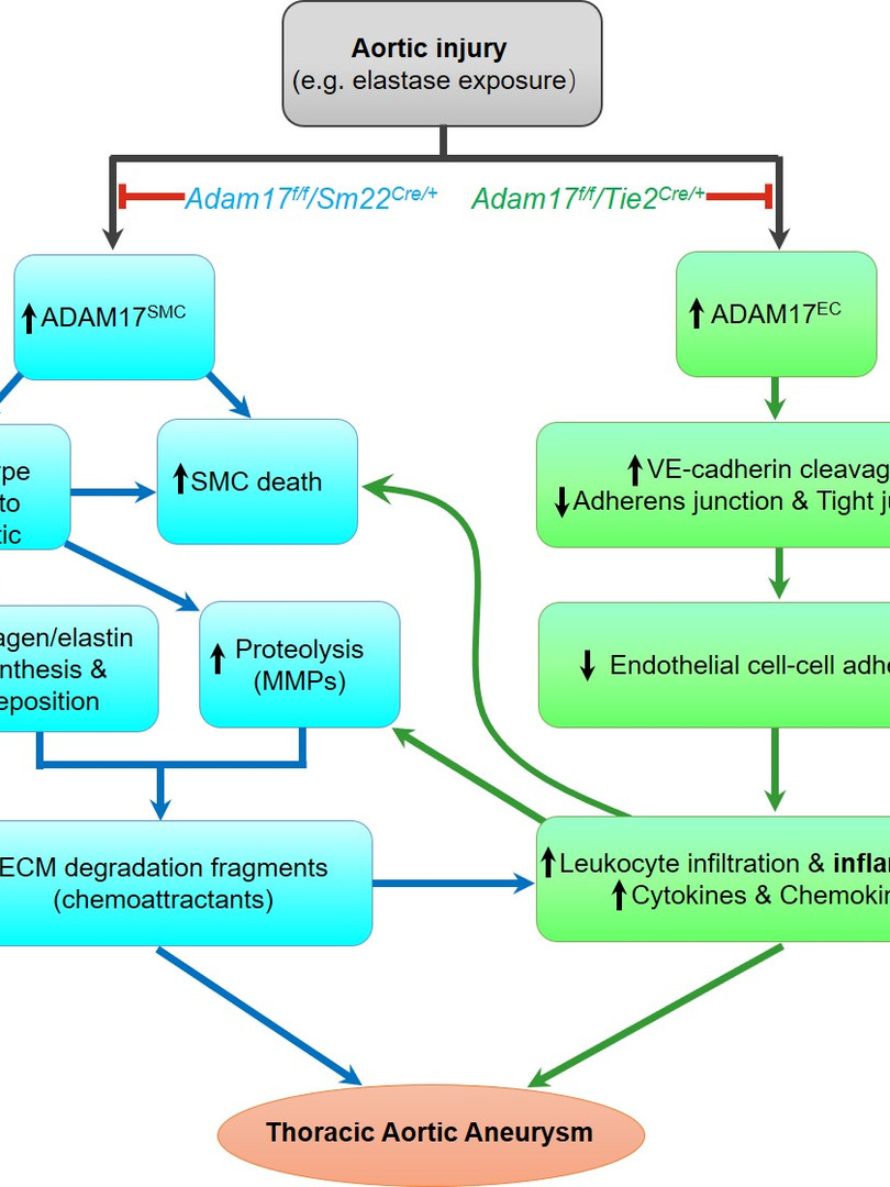ADAM17 triggers synthetic phenotypic switching of SMCs and endothelial barrier disruption, which cumulatively promotes the progression of TAA. (Shen et al., Circulation Research, 2018.)