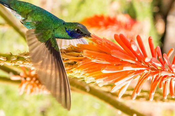 Vol de colibri au sommet de l'Isla del Sol sur le lac Titicaca en Bolivie