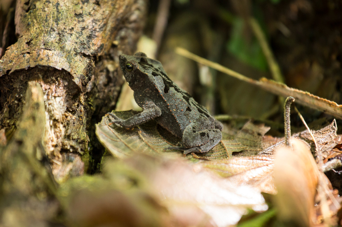 Grenouille frog Amazonia Peru Parque de Manu