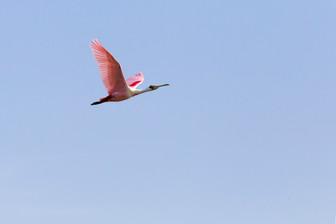 Vol de spatule rosé