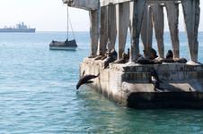 Otarie en train de plonger à Valparaiso au Chili