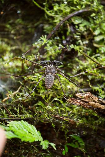 Scorpion Spider Amazonia Peru Parque de Manu