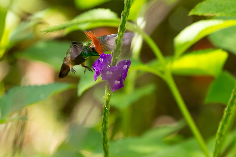 Colibri, hummingbird Amazonia Peru Parque de Manu