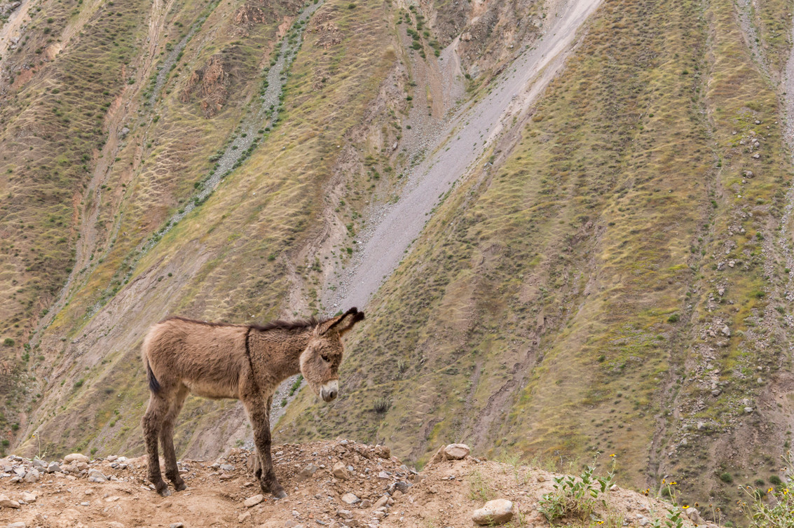 Free donkey in the Colca Canyon